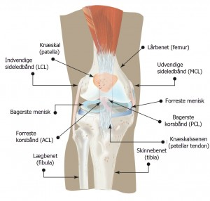 Knæets anatomi