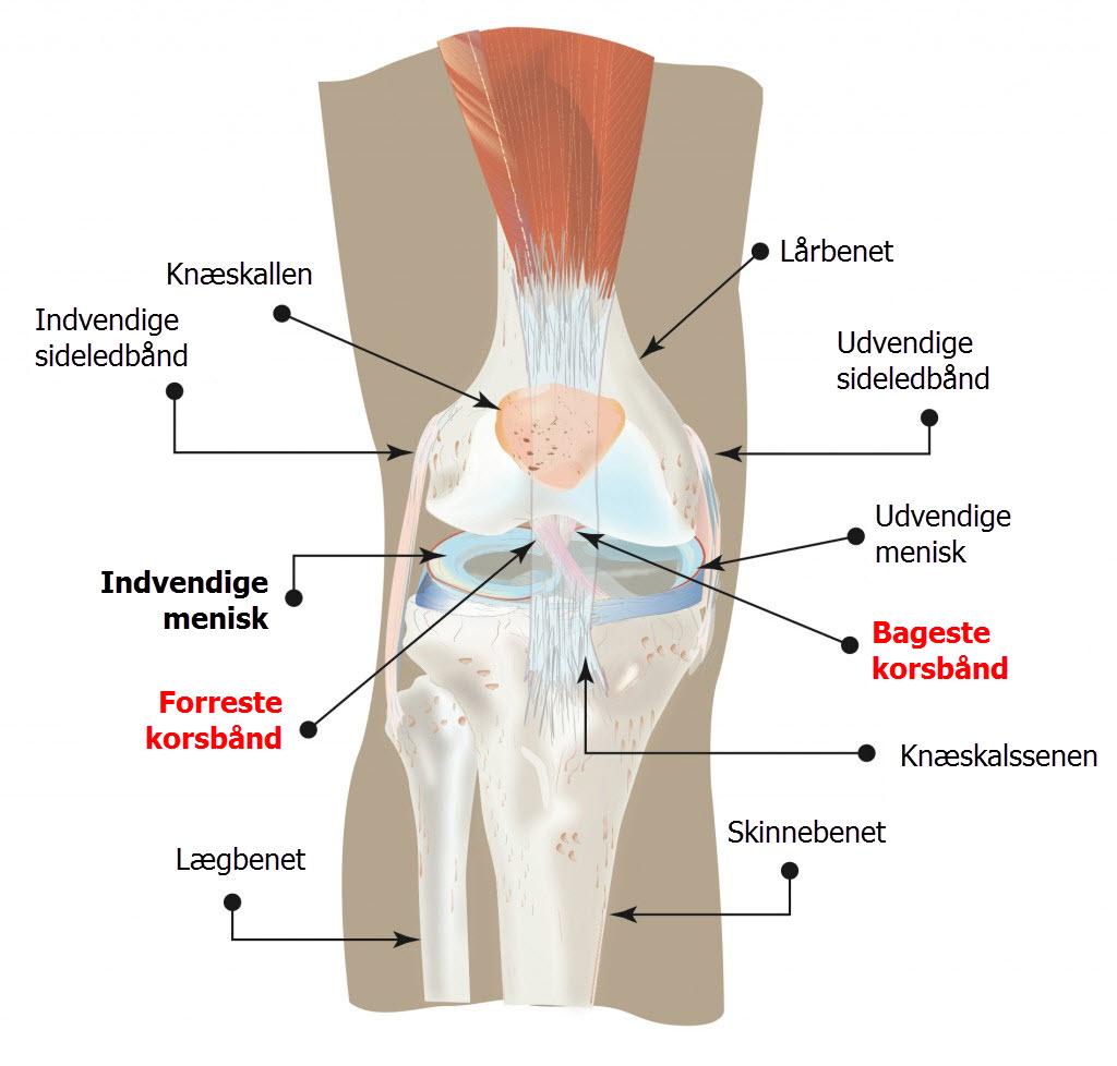 knæets anatomi på dansk - korsbånd