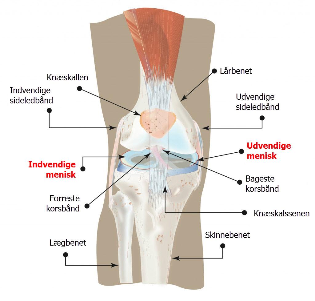 knæets anatomi på dansk - menisk