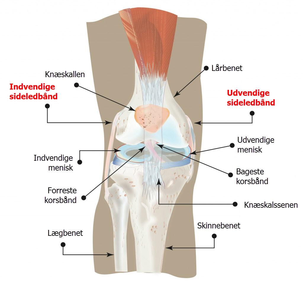 knæets anatomi på dansk - sideledbånd